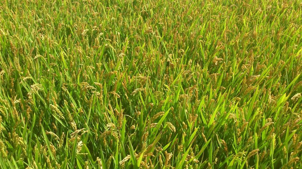 cornfield-441842_1920