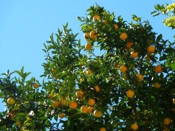 orange-trees-217764_960_720