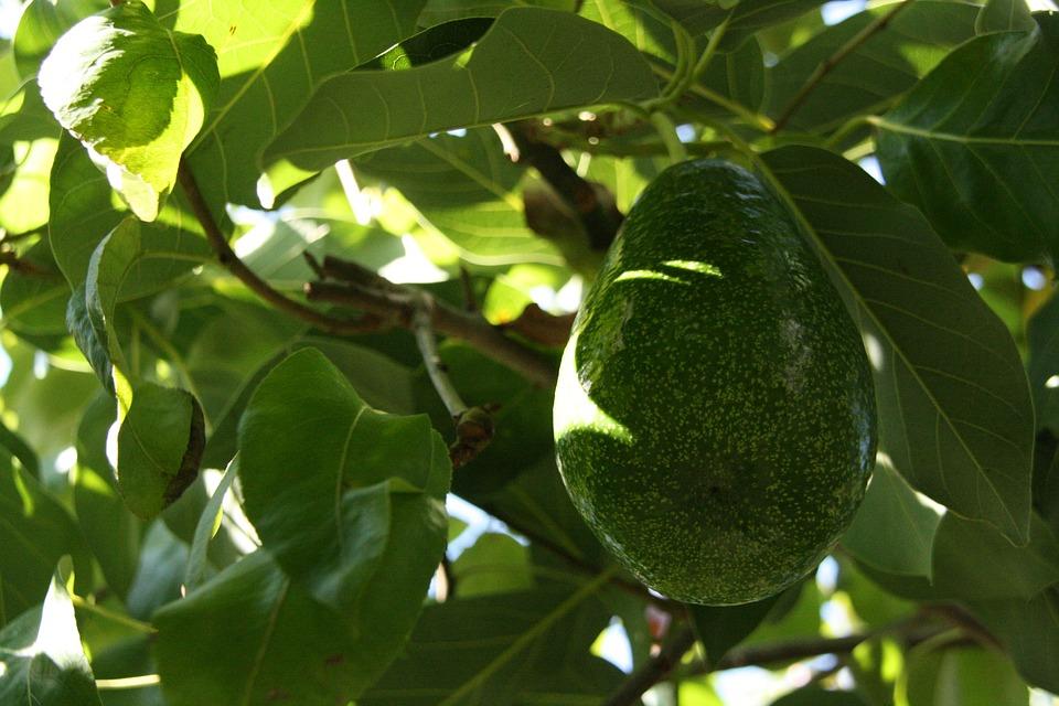 avocado-1313798_960_720